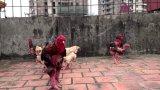 Phương pháp chăn nuôi gà Đông Tảo thuần chủng