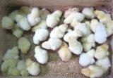 Kỹ thuật chăm sóc Gà Đông Tảo con mới bóc trứng