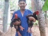 Phòng và chữa bệnh CRD cho giống Gà Đông Tảo